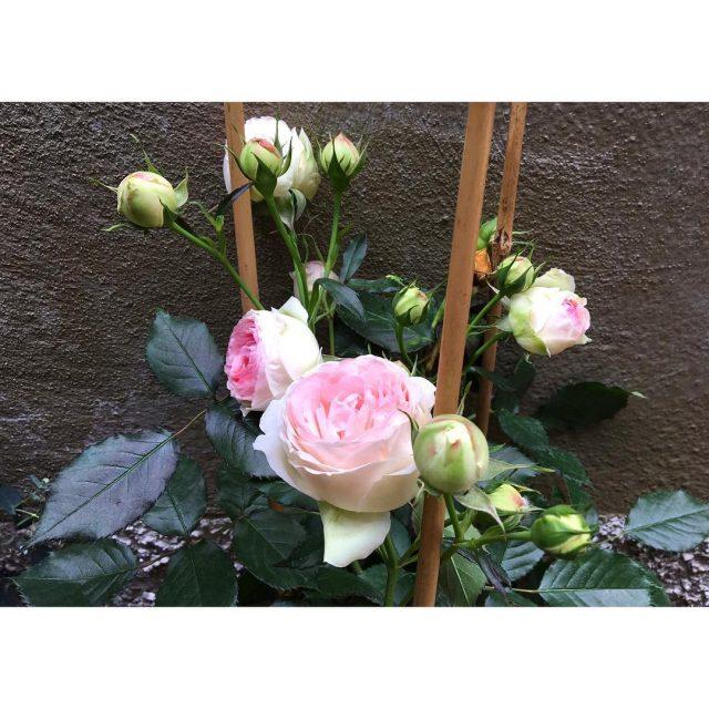 Les premires du jardin roses